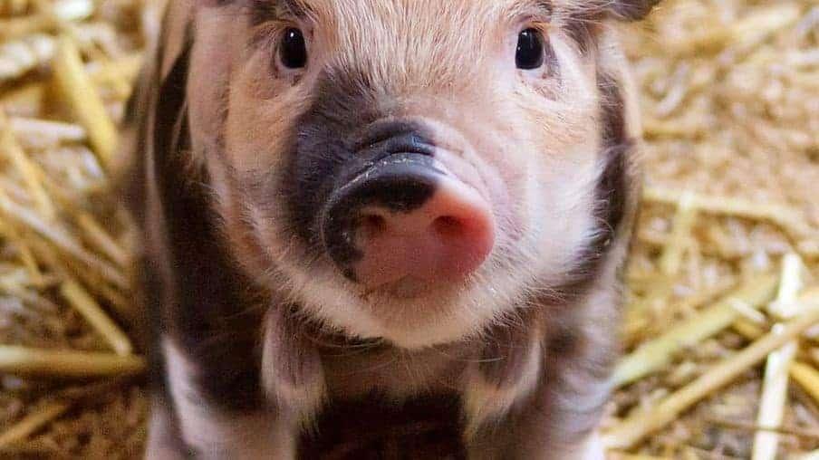 Allen D. Leman Swine Conference 2021